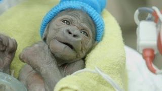 Baby gorilla with collapsed lung recovers after bout of pneumonia
