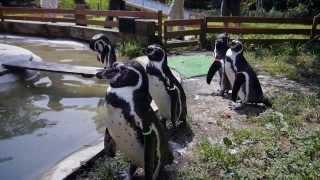 那須どうぶつ王国に遊びに行って、ペンギンがとても可愛かったので、撮...