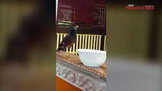 Wild Myna bird surprises Melaka residents by saying 'thank you' for food