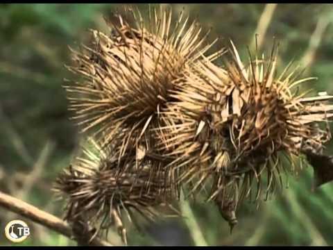 Что лечит корень лопуха? Лечебные свойства корня лопуха