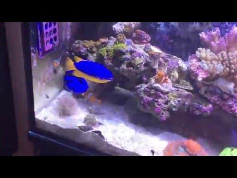 Fiji blue damselfish large