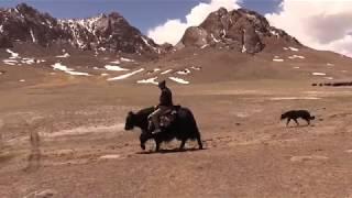 Яки и овцы кыргызов Восточного Памира, Мургабский район, 4200 метров над уровнем моря.