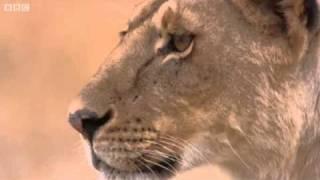 Lioness vs Cheetah - Big Cat Diary - BBC