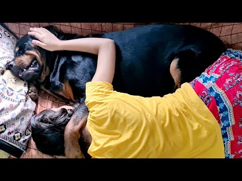 Unconditional love between my dog and little girl ||rottweiler dog.
