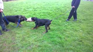 Doberman Tug Of War German Shepherd Birmingham Uk