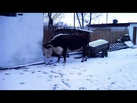 Наши коровы .Сельская жизнь