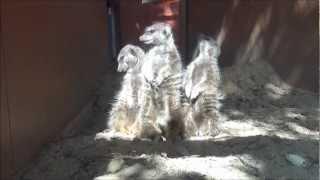日向ぼっこしてるミーアキャット Meerkats basking in the sun.