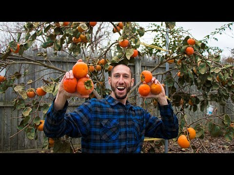 My Secret RARE Fruit Tree, PERSIMMONS!!