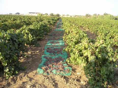 viticultura-de-los-vinos-de-jerez