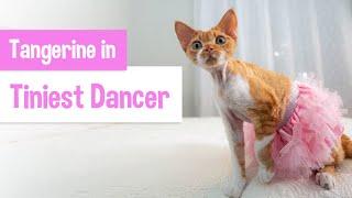 Devon Rex Kitten Dreams of Becoming a Ballerina | Original Music