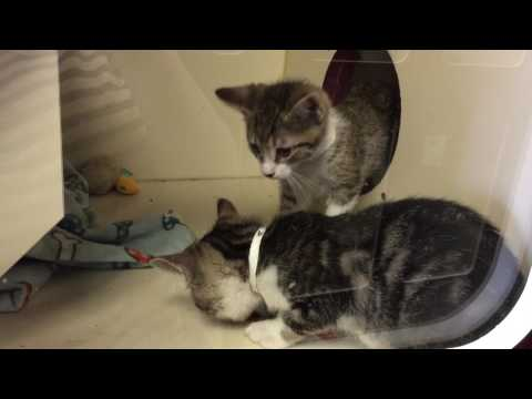 Shelter Kittens Playing with Donated Toy