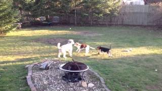 Beagles And A Poodle Mix Play