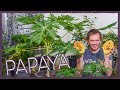 How to Grow Papaya Indoors