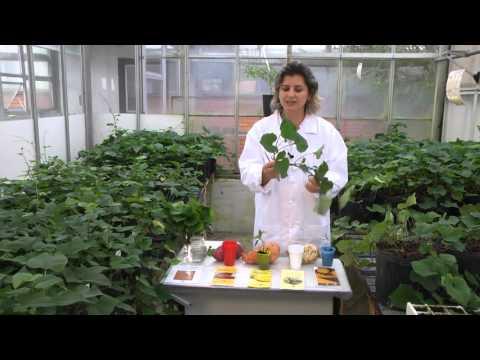 Passo a passo: multiplicação de mudas de batata-doce | Programa Terra Sul
