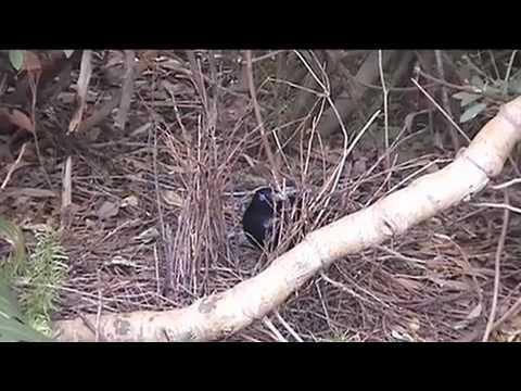 NATIVE BIRDS OF AUSTRALIA - AUSTRALIAN BOWER BIRD