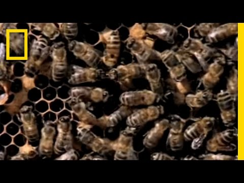 Killer Bees! | National Geographic