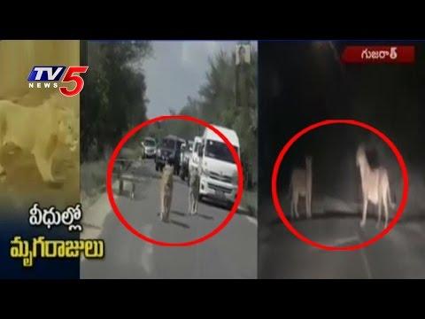 Three Lions Spotted in Amreli District | Gujarat | Telugu News | TV5 News