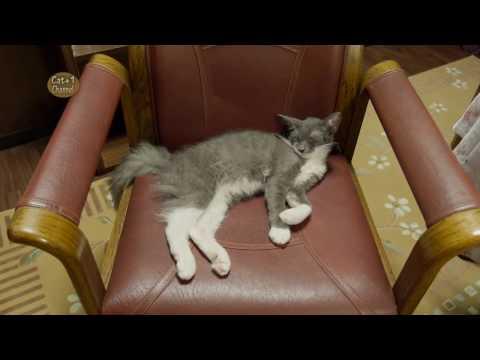 お気に入りの場所で寝る猫 ラパーマ / Cat sleeping at his favorite Sleeping Place