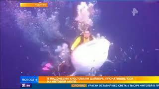 В Индонезии арестовали дайвера, прокатившегося на китовой акуле