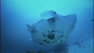 Uncovering Manta Ray Secrets