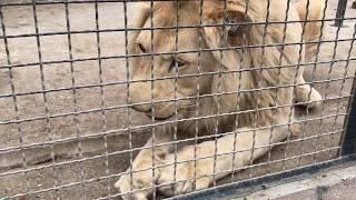 Не садись львице на голову. Парк львов Тайган.