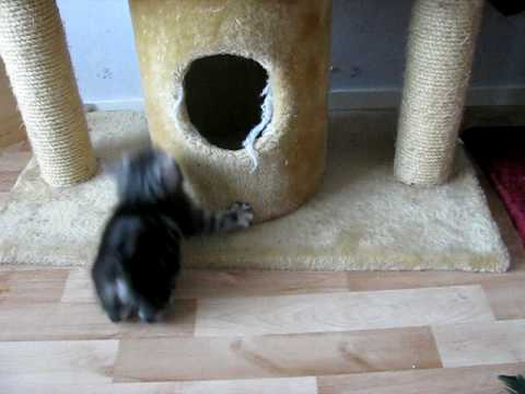 Thumbnail for Cat Video Kurilian bobtail kittens playing