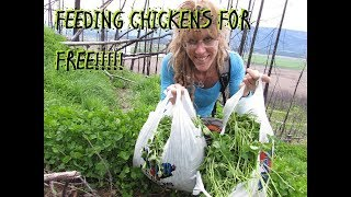 HOW TO FEED YOUR CHICKENS FOR FREE!!!