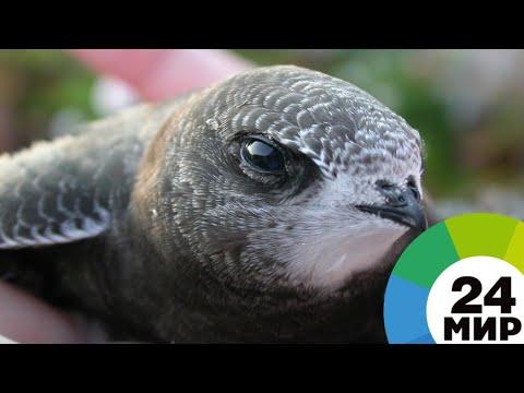 Ставят на крыло: как московские волонтеры спасают птенцов стрижей