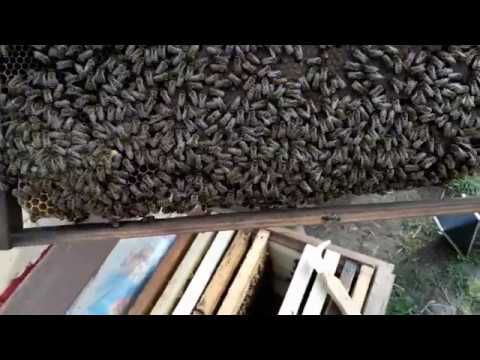 5. Развитие от пчелопакета до пчелосемьи