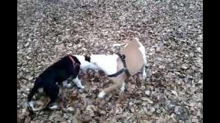 Staffordshire Bull Terrier Versus Mastiff Doberman