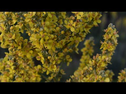 КОРОВЯК МЕТЕЛЬЧАТЫЙ.  ( VERBASCUM LYCHNITIS)  ВСТРЕЧА В ДИКОЙ ПРИРОДЕ. Полезные растения.