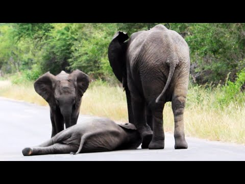 Thumbnail: Herd of Elephants Help an Elephant Calf After Collapsing in the Road