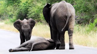 Herd of Elephants Help an Elephant Calf After Collapsing in the Road