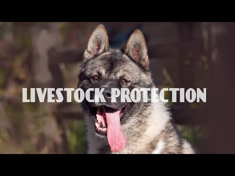 Top 10 Best Guard Dogs Breeds for Livestock and Poultry Protection