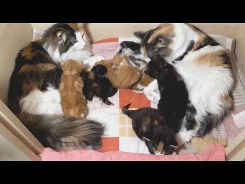 Norwegian Forest Cat kittens; Justified I-II. litters
