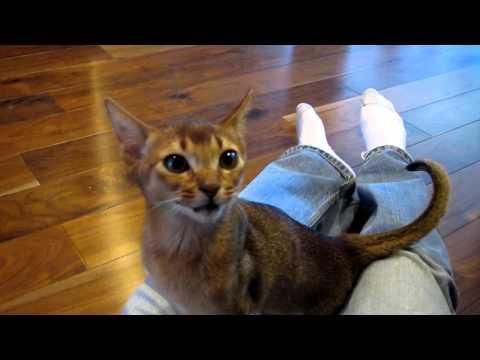 Cute Abyssinian Kitten wants his dinner