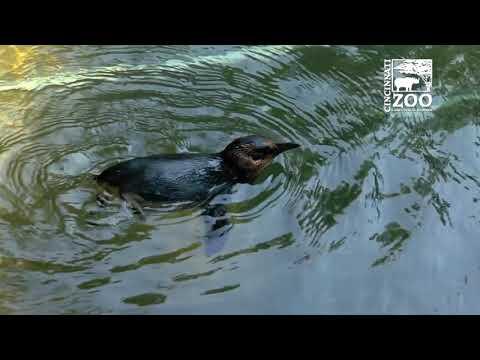 Little Penguin Tracking for Better Health - Cincinnati Zoo