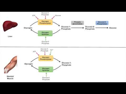 Glycogen Metabolism | Glycogenolysis | Pathway, Enzymes and Regulation