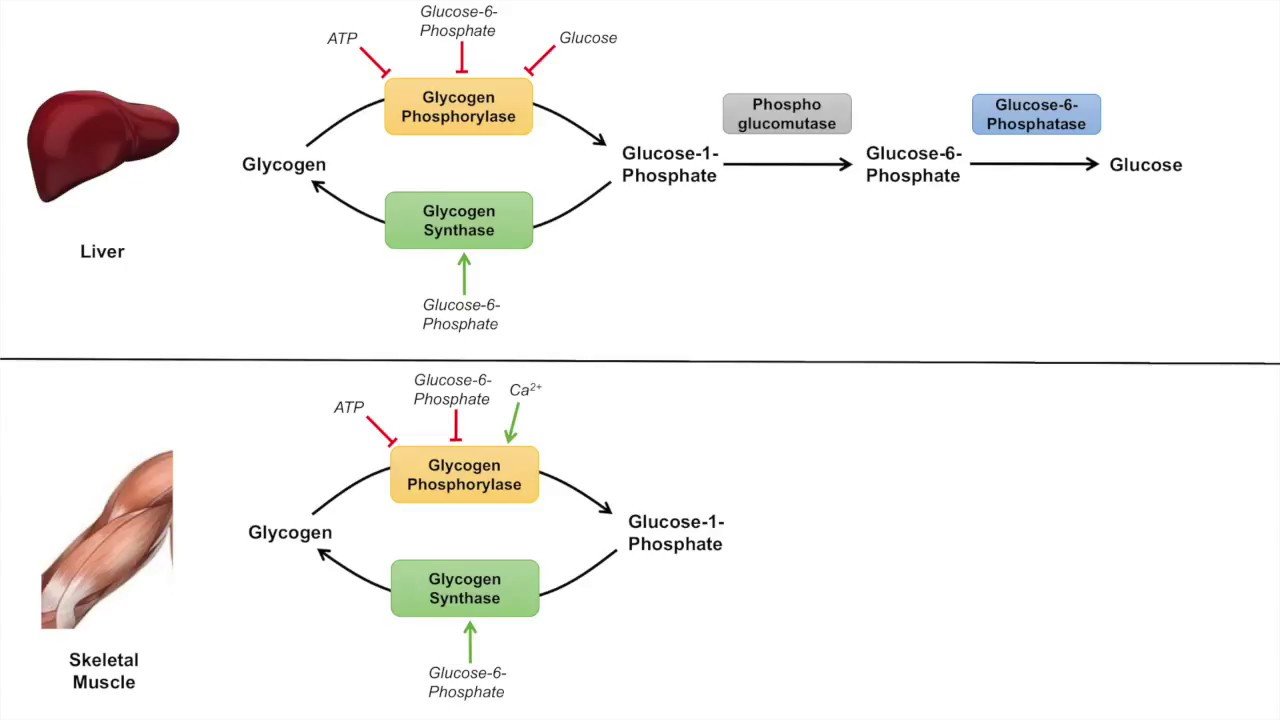 medium resolution of glycogen metabolism glycogenolysis pathway enzymes and regulation