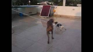 Weimaraner Vs Fox Terrier.avi