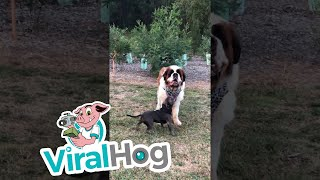 Big Patient Saint Bernard || ViralHog