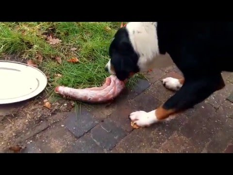 Dog eating raw meat and a turkey neck (BARF/NRV) Raw Feeding For Dogs
