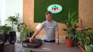 видео Арекова пальма- уход и содержание в домашних условиях.