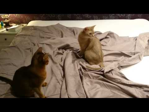 Changing sheets with four abyssinian cats 'helping'