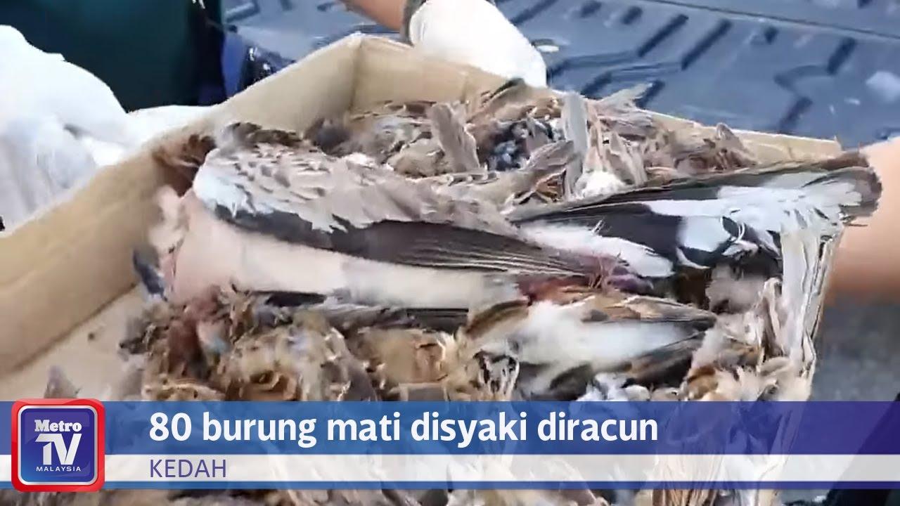 80 burung mati disyaki diracun