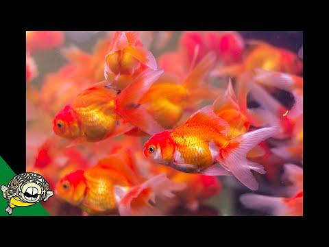Goldfish Shipment! Daily Dose #28