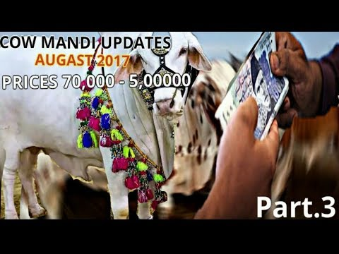 COLLEGE ROAD COW MANDI UPDATES | PRICES FROM 70,000 - 500,000 | URDU/HINDI