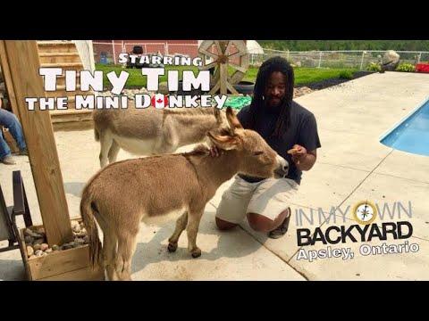 Tiny Tim The Mini Donkey (Apsley, Ontario)