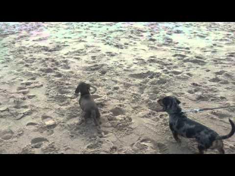 Scouty enjoying the beach