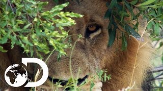 Dave Salmoni Has A Dangerous Close Call With A Wild Male Lion | Into The Lion's Den